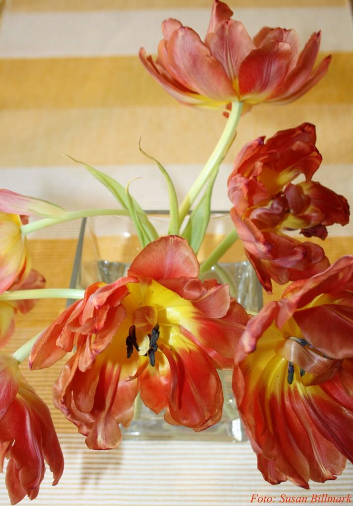 Överblommade rödgula tulpaner